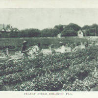 Celery Field, Orlando Postcard