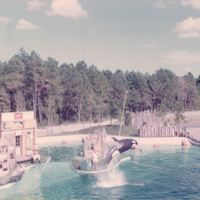 Killer Whale at SeaWorld Orlando, 1974