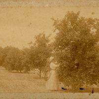 Gertrude Sanford Picking Oranges at Belair Grove