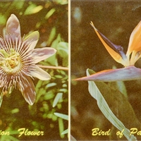 Passion Flower and Bird of Paradise Postcard