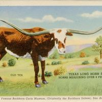 Texas Long Horn Steer Postcard