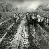 J. N. Whitner's Celery Farm During Harvest Time