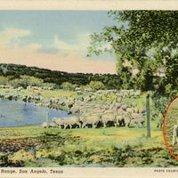 Sheep on the Range Postcard