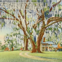 Florida's Largest Live Oak Postcard