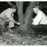 Franklin W. Chase and Randall Chase Inspect Sweet Black C Valencias at Isleworth Grove
