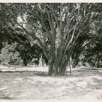 Original Orange Seedling at Belair Grove