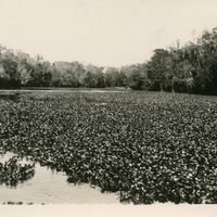 Water Hyacinths Near Sanford