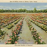 See 20 Million Roses in Bloom Postcard