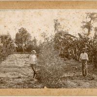 Orange Grove After the Freeze of 1888