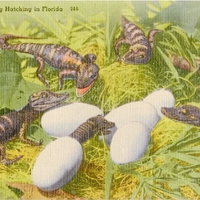 Alligator Egg Hatching in Florida Postcard