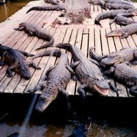 Alligators at Gatorland, 1996