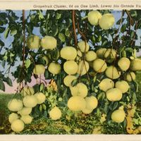 Grapefruit Cluster, 64 on One Limb Postcard