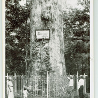 Big Tree Park, the Oldest and Largest Cypress Tree in U.S.A. Postcard